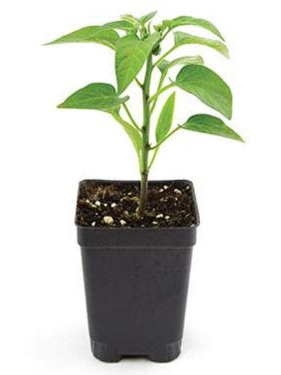 Organic Cayenne Pepper Plant