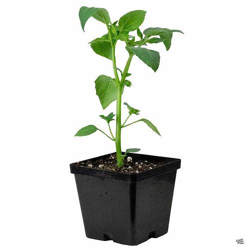 Organic Purple Tomatillos Plant