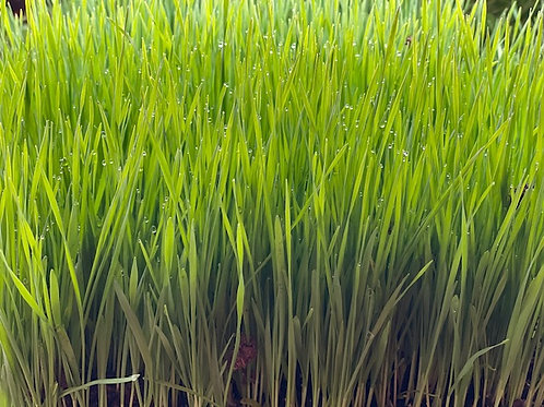 Organic Wheat Grass Plant