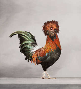 PORTRAITS OF CHICKENS, HENS AND ROOSTERS...