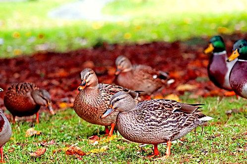 Ducks Day in the Park! (5x10 framed print)