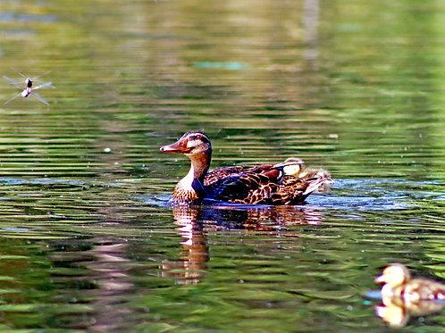 Ducking Around ( Framed 12x18  Print)