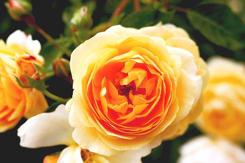 "Yellow Beauty (11"" x 14"" Maple Wood Print - Natural Finish)"
