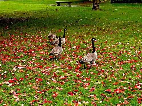 Fall Geese ( Framed 8x12  Print)