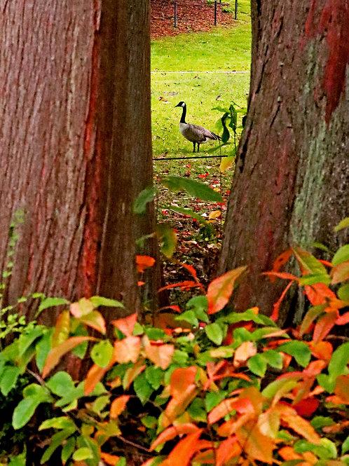 Goose Through the Tree ( Framed 10x15 Print)