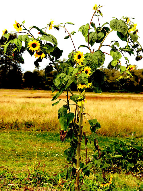 The Sunflower Tree! (11x14 print)