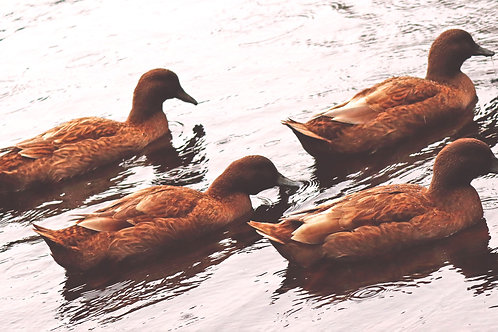 Ducks that Stay Together...( Framed 15x27  Print)