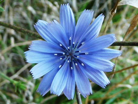 Get to Know: Chicory