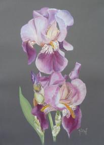 L'iris du jardin