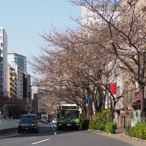 Cherry blossoms                               around Hiroo Sannpo-dori