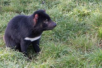tasmanian-devil-2365434_1280.jpg