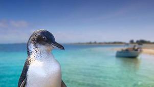 Penguin Island & Caversham