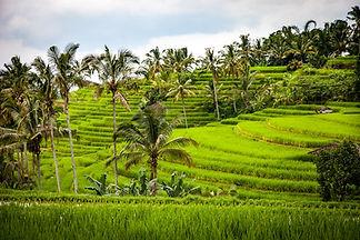 rice-1514141_1280_1.jpg
