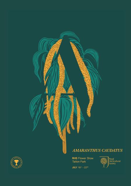 Amaranthus Caudatus