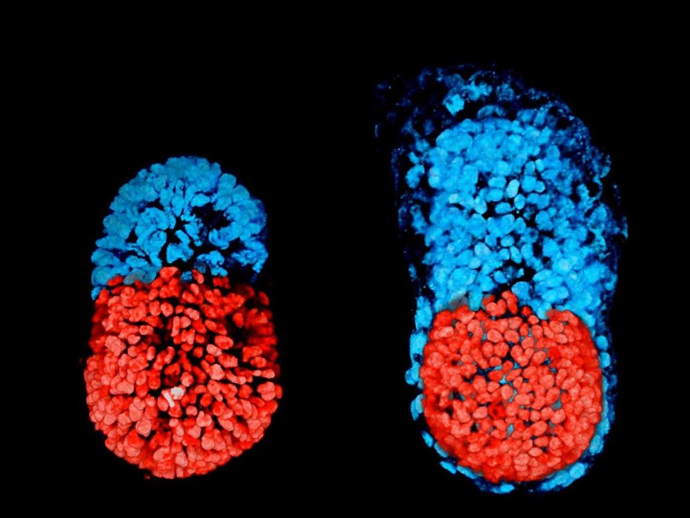 An artificially created three-dimensional model of a mouse embryo at 96 hours, left, and then an embryo cultured in a test tube for 48 hours from the blastocyst stage, right.