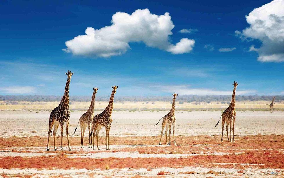 giraffes-in-the-african-grassland.jpg