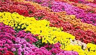 growing-chrysanthemum.jpg
