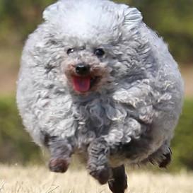 Sheepdog Goma