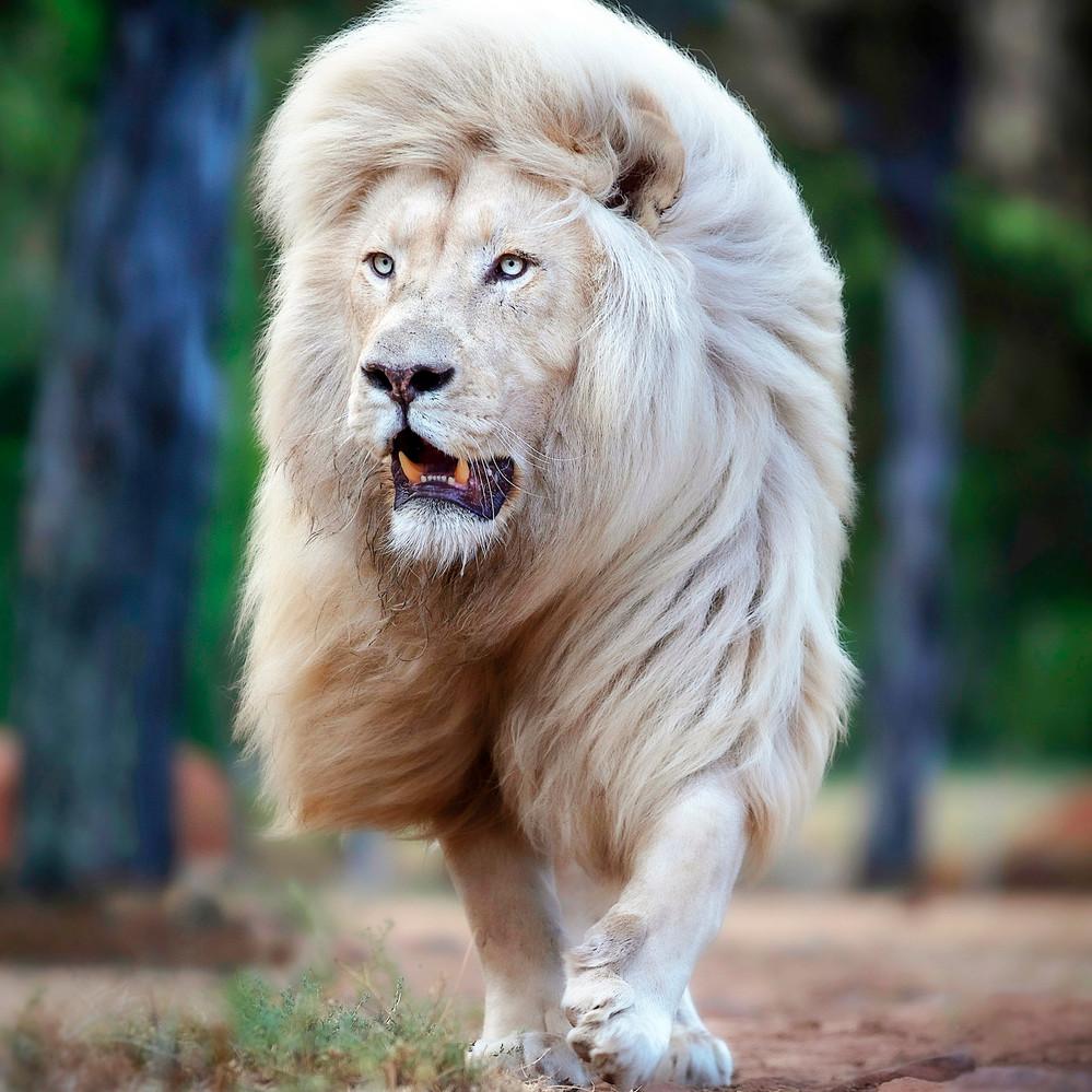 Moya the white lion