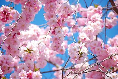 Chaplaincy Service Cherry Blossom.jpg