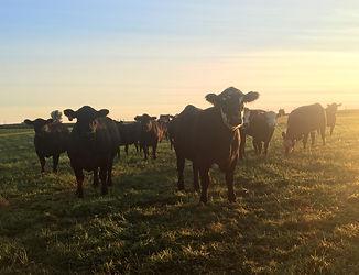 Cattle on Pasture .jpg