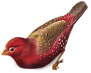 kırmızı kuş