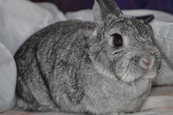 Dizzie the Neverland Dwarf rabbit