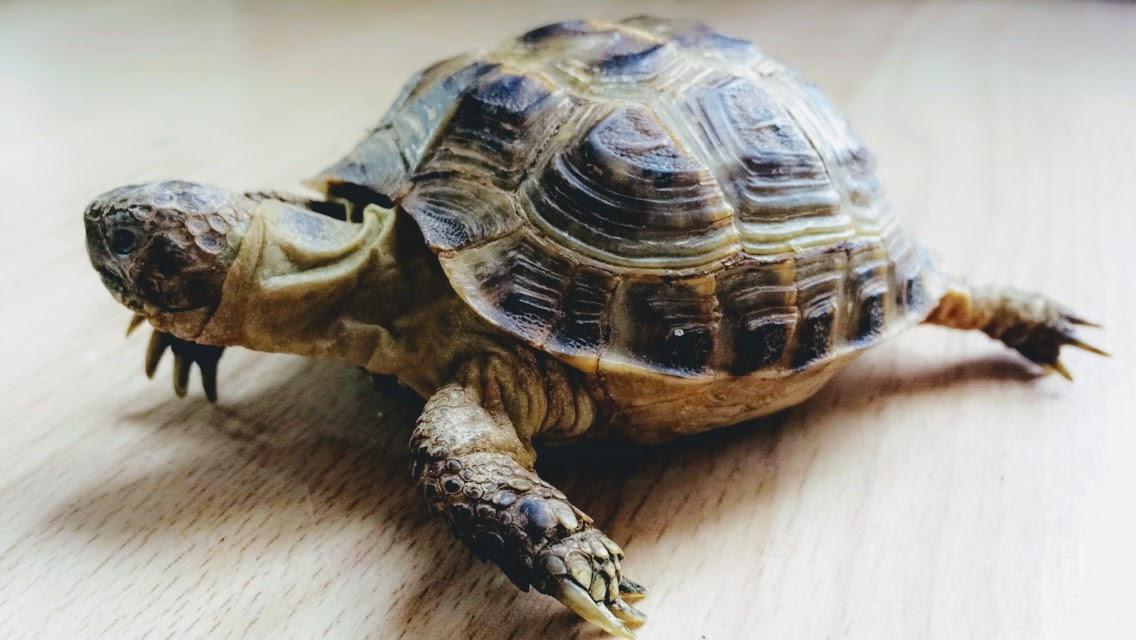 Esiotrot the Horsefields tortoise