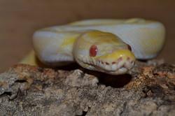 Sherbert the royal/ball python