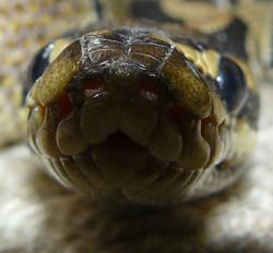 Cuddles the royal/ball python