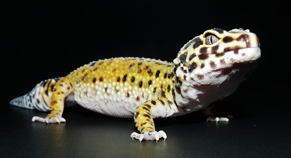 Echo the leopard gecko