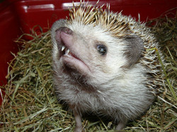 Sonic the pigmy hedgehog