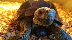 Dyson the Hermanns tortoise