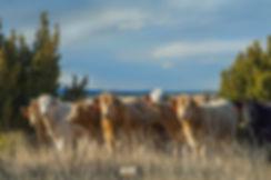 cowsccg E 0173.jpg