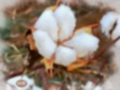 cottoncloseccgFINALFINAL_1205.jpg