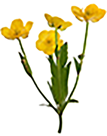 yellow_flowers_sm.png