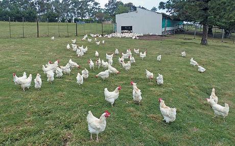 4b_free-range-chicken_Mike Burgess.jpg