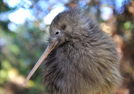 テプイア 国鳥キウィ