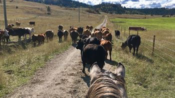 Respect the Beef:Into to Stockmanship