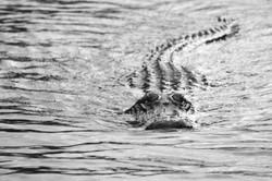 Marcia Brito. Croc