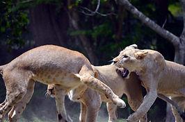 Lions 01.jpg