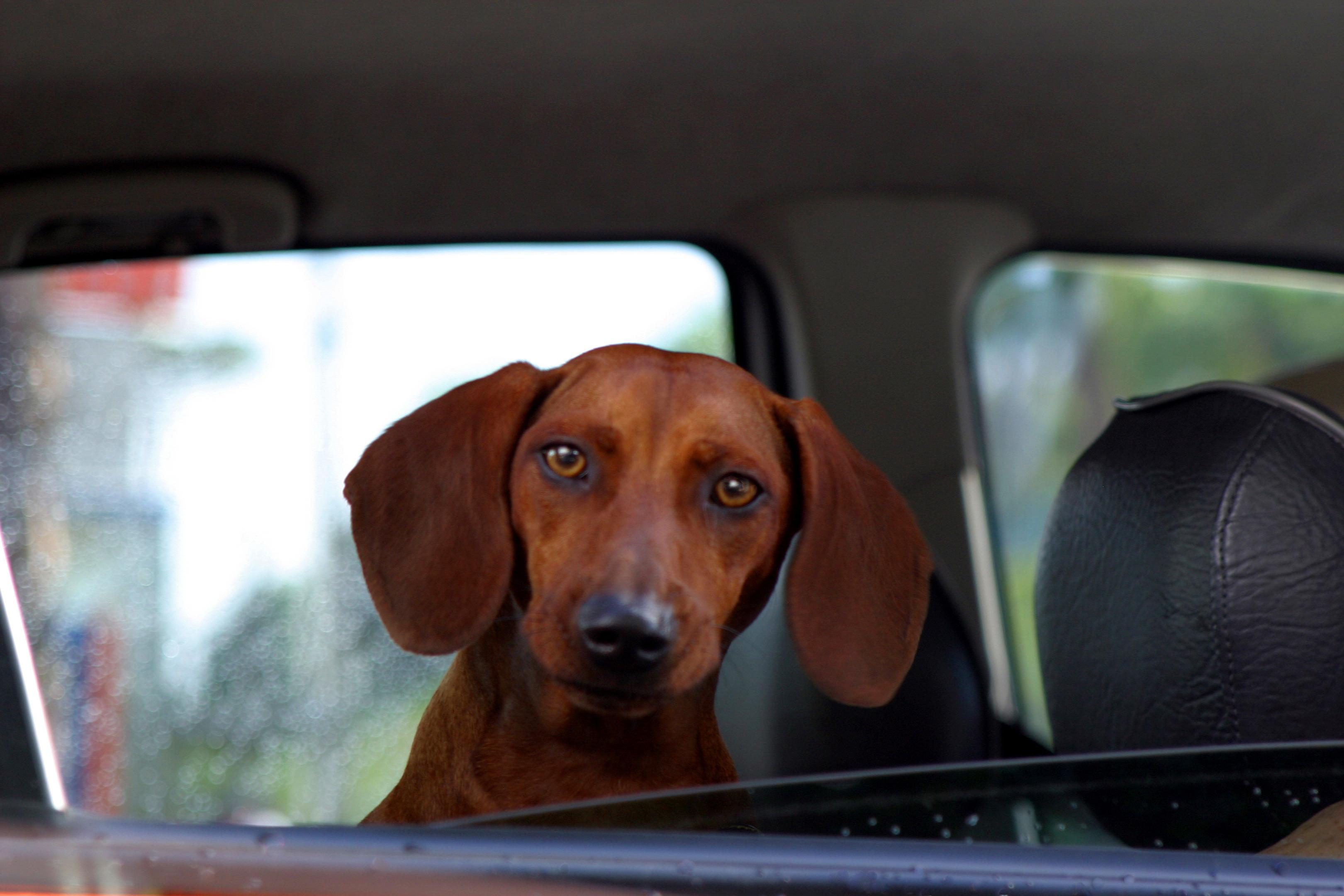 BRITO. dog