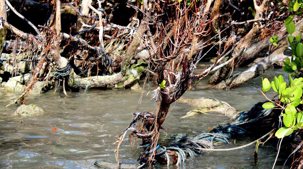 10_Broken Lobster Lines Strangling The Mangroves No.2