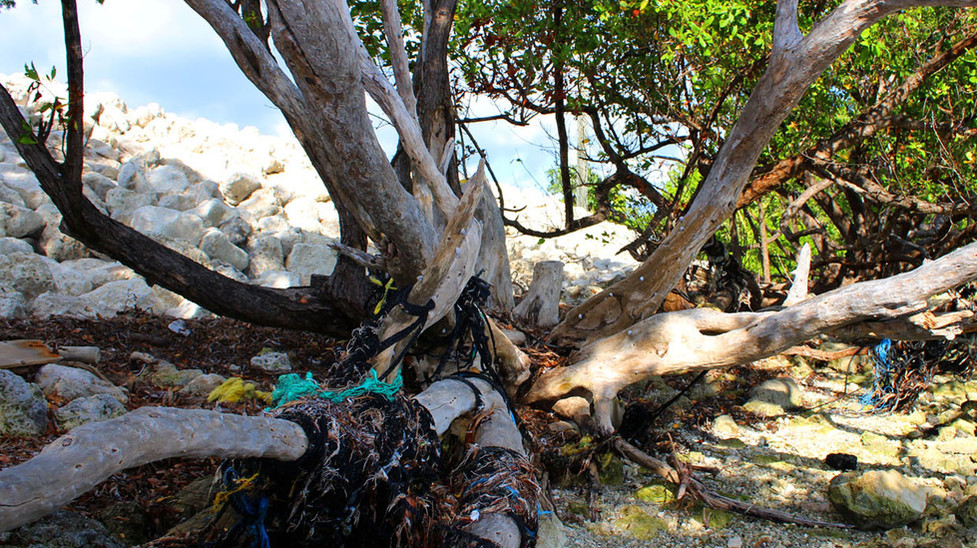 12_Mangroves Entwined With Broken Lobster Lines