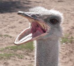 f2 ostrich
