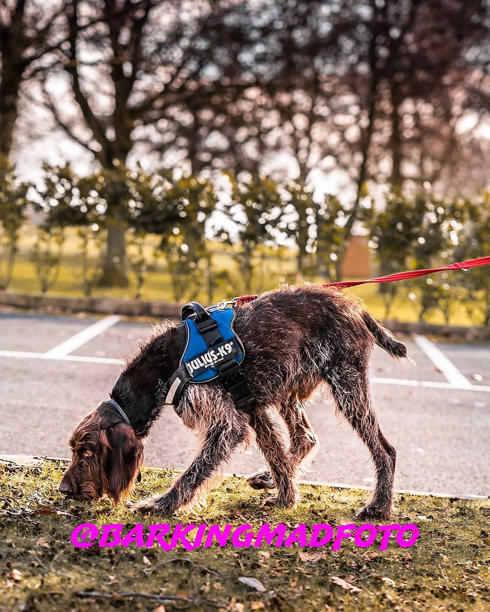 Anton Cyprus Wirehaired Pointer walking poster