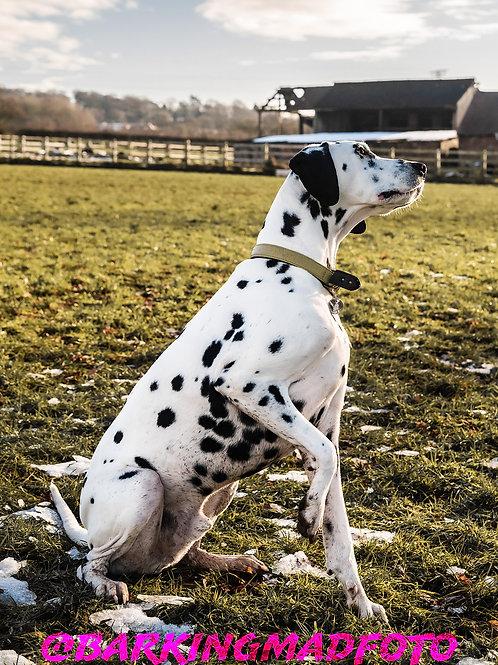 Enzo at Cocknage Dog Freedom Field | Dalmatian