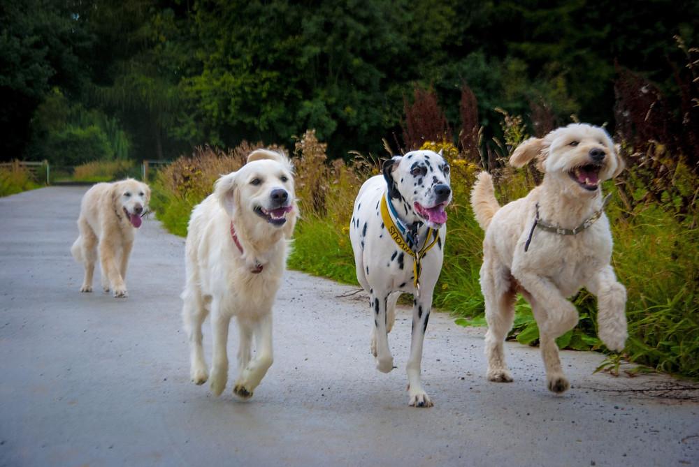 Golden Doodle, Golden Retriever and Dalmatian running