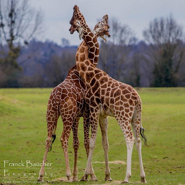 girafes enlacées