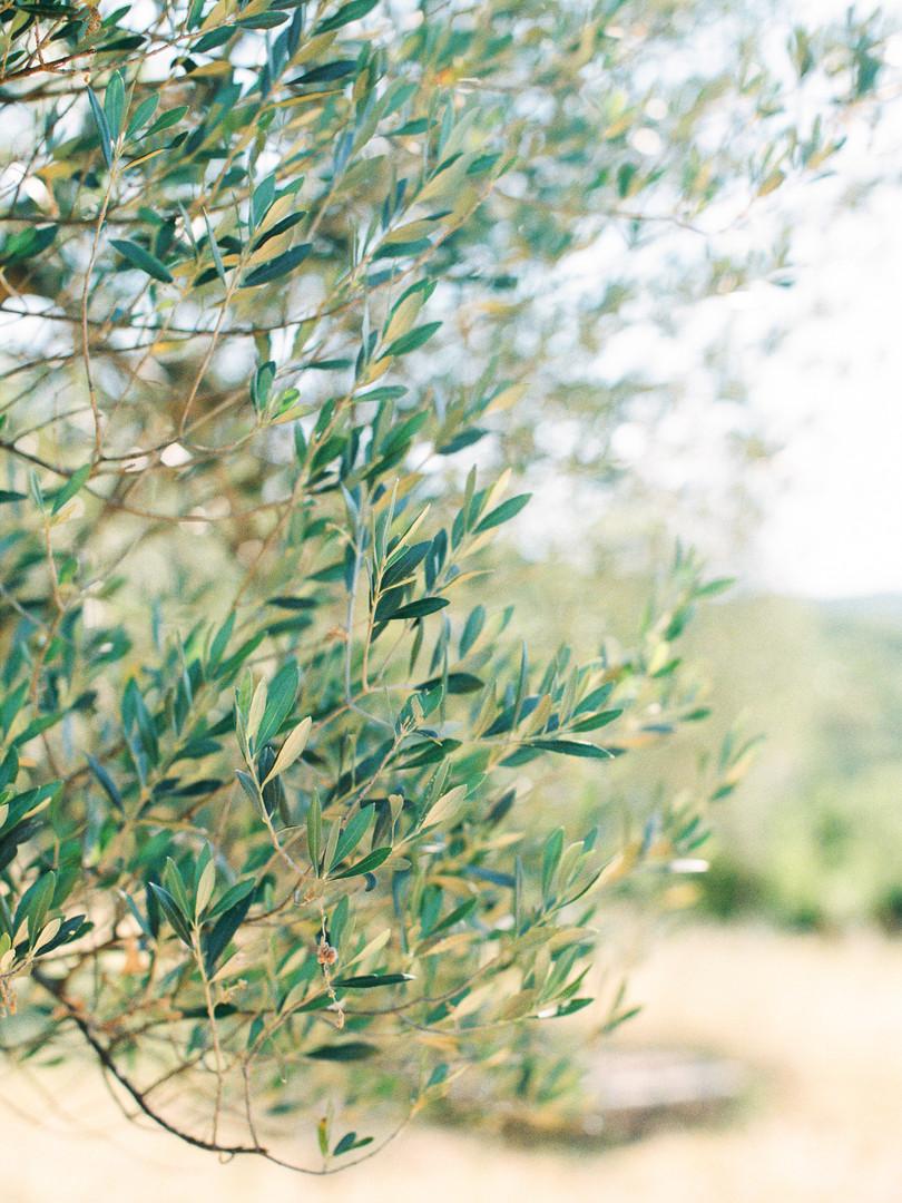 Olives Villa Montanare.jpg